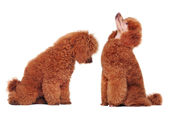 Pretty poodle looking at himself after grooming procedures
