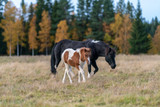Icelandic horses, mare and foal walking in the autumn pasture - 247321565
