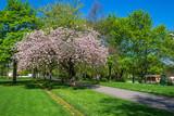 Blühender Apfelbaum in einem Park