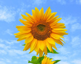 field of blooming sunflowers.Top View.Sunflower field landscape. Sunflower field panorama. Sunflower field in sunny day landscape.Beautiful flower in the garden.Sunny day.Honey Bee pollinating.