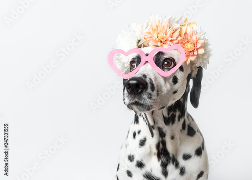 Dalmatian dog with heart shaped sunglasses and white and yellow floral crown. Chrysanthemum flower wreath. Copy space. Pet portrait - 247331555