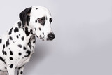 Dalmatian admitted his guilt lowered his head. Dog portrait isolated on white background