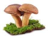 Two forest mushrooms on green moss