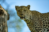 An old female leopard staring into the camera
