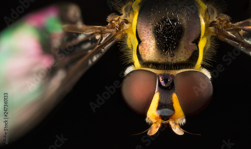 Hoverfly close-up - 247360133