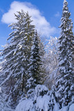 Trees covered with snow - 247373727