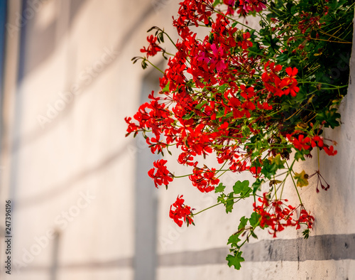 Side view of little red flowers bush on the window sill of white building - 247396196