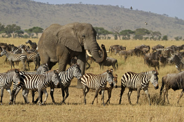 The Great migration, Serengeti National Park, Tanzania © bayazed
