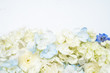 Hydrangea flower white background floral flat lay - 247398517