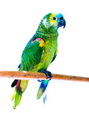 Beautiful bright green parrots sitting on the wooden stick isolated on the white background