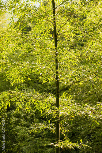 Bamboo tree in forest China