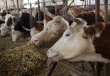 Cows eating in stable - 247405526