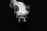 Cute french bulldog watching at you