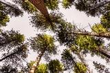 Sequoia tree crowns - 247427911