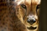 closeup portrait of a cheetah, lovely big cat