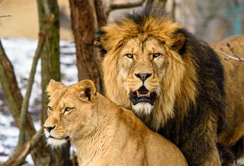 Lion posing for portrait