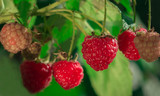 ripe raspberries in garden. Red sweet berries  on raspberry bush.