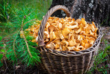 Wicker basket with wild mushrooms chanterelles
