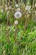 The family of flowering dandelions - 247467103