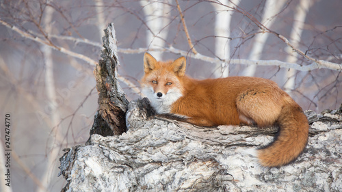 fototapeta na ścianę Камчатка. Анадырьская лисица.