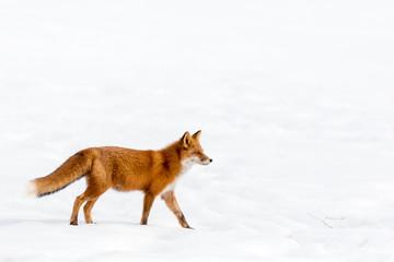 Камчатка. Анадырьская лисица.