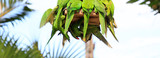 Parrot flew to the feeder to eat, Parrot Amazona pretrei. Green parrots. Green birds.