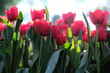 field of red tulips flowers - 247496584