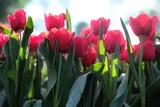 pole czerwonych tulipanów kwiatów
