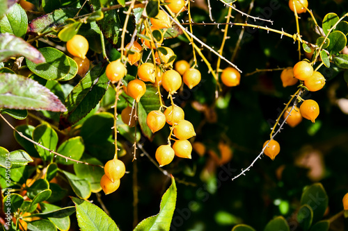 Foto Murales branch of seabuckthorn, photo as background