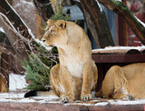 The lion is a species of predatory mammals, one of the four representatives of the genus Panthers. The lion is the second largest of the living large cats, second only to the tiger.