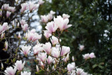 Magnolia flowers closeup.