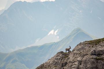 Alpen Steinbock in Berglandschaft auf dem Heilbronner Weg