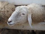 sheep in farm animals closeup face - 247520732