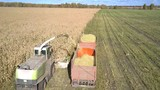 drone hangs over huge harvester gathering corn foliage for cattle and pouring into red trailer in field on autumn day  - 247521763