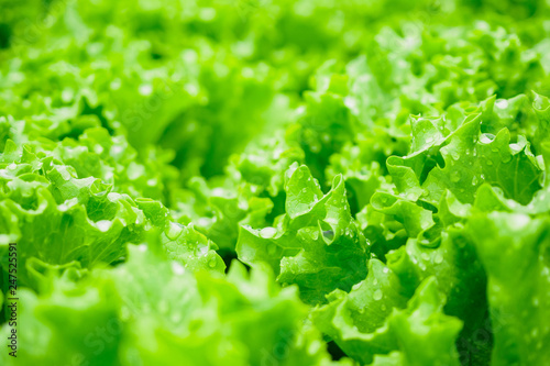 Closeup Fresh organic green leaves lettuce salad plant in hydroponics vegetables farm system - 247525591
