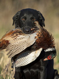 A Black Lab hunting dog with a rooster Pheasant
