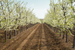Blooming cherry garden. Industrial plantings. Perspective image