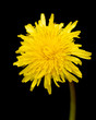 yellow dandelion flower isolated on black background