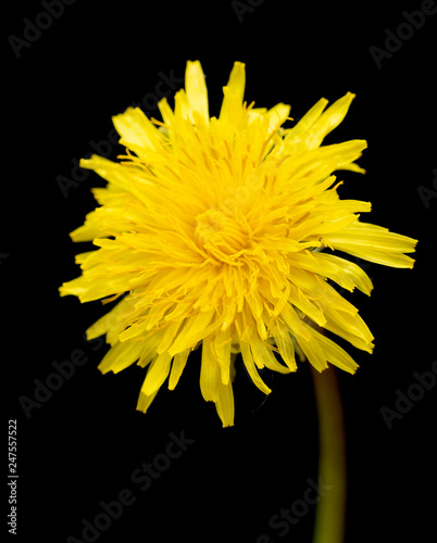 yellow dandelion flower isolated on black background - 247557522