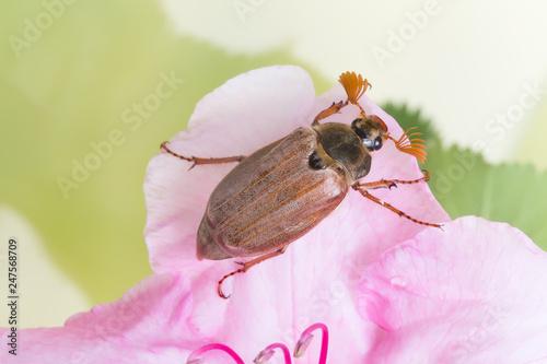 Foto Murales Maybug on pink flower