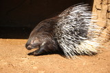 porcupine with fluff needles on a background of a cave - 247571368