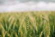 Wheat in Europe