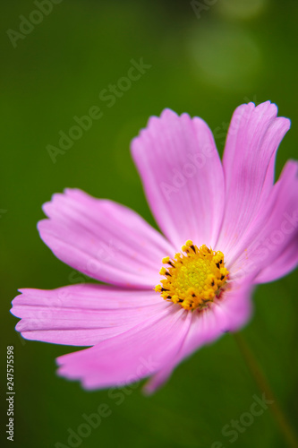 Cosmos flower. South Africa.