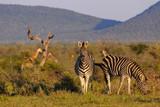 Plains zebra (Equus quagga, prev. Equus burchellii), aka common zebra, Burchell's zebra or quagga. North West Province. South Africa