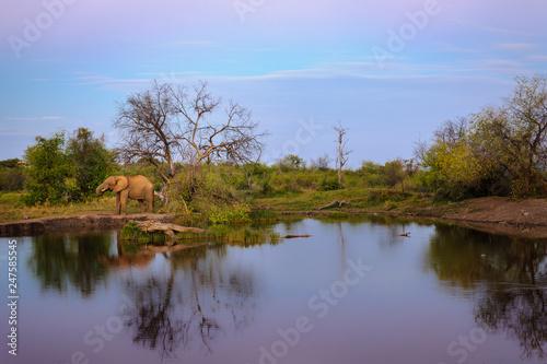 African bush elephant (Loxodonta africana) aka African savanna elephant or African elephant at waterhole. North West Province. South Africa