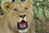Junges Löwen Männchen