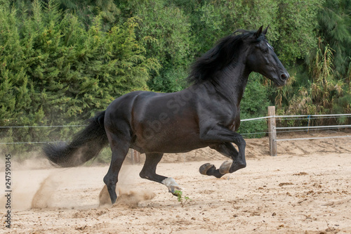 Semental de caballo español de color negro