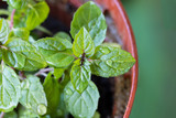 peppermint plant grown in a pot - 247615377