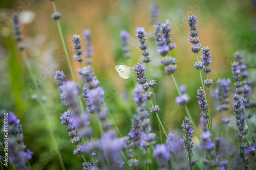 flowering lavender, bee plant, butterfly collect nectar lavender - 247618982