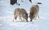 Two wolves in the winter in the forest